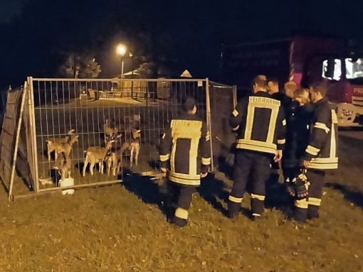 Insgesamt 22 Tiere wurden am Kunigundenberg in einem provisorischen Gatter untergebracht.